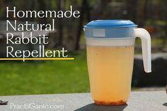 PractiGanic: Homemade Natural Rabbit Repellent