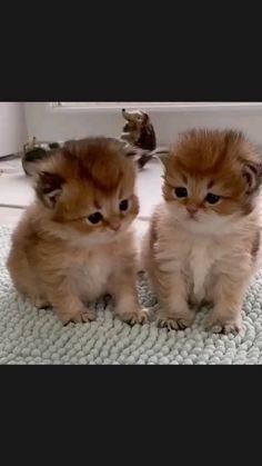 Twins 🤩 kitten 🐾