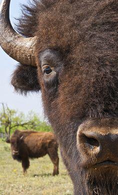 Bison selfie!