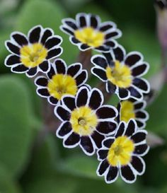 The sweet yet striking Primula, love these. - 20 BLACK Flowers And Plants to Add Drama To Your Garden Dark Flowers, Unusual Flowers, Unusual Plants, Types Of Flowers, Beautiful Flowers, Garden Web, Garden Plants, Balcony Garden, Vegetable Garden