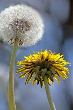 Dandelion   Flickr - Photo Sharing!