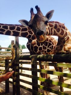peek a boo giraffe