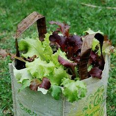 """Lettuce grown in a green shopping bag. An excellent idea for reusing old, worn out bags with pre-existing """"drainage"""" holes."""
