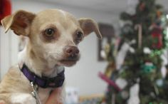 1 / 17   ***SENIOR***   Petango.com – Meet Candy, a 9 years 1 month Chihuahua, Short Coat / Mix available for adoption in NEWTON, KS Contact Information Address  1400 SE Third, NEWTON, KS, 67114  Phone  (316) 283-0839  Website  http://www.caringhandshs.org  Email  kevin@caringhandshs.org