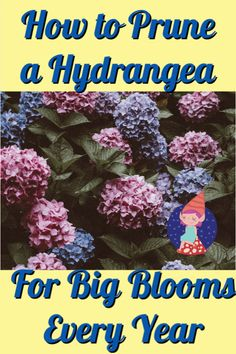 hydrangea garden care When should I prune a hydrangea Learn when and how to prune hydrangeas for big, beautiful blooms every year. Hydrangea Bloom, Hydrangea Colors, Hydrangea Care, Hydrangea Not Blooming, When To Prune Hydrangeas, Pruning Hydrangeas, Pruning Shrubs, Flowering Shrubs, Growing Flowers