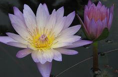 See more than 100 varieties of waterlilies in bloom this month at the McKee Botanical Garden in Vero Beach, Florida.