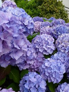Hydrangeas in our French garden. Fougerolles Du Plessis.