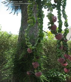 PlantFiles: Picture #5 of Hoya, Wax Plant, Hindu Rope, Indian Rope ...Hindu Rope Plant  www.HomesatSanDiego.com