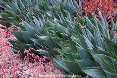 Agave 'Blue Flame' . We have this coming in in little 1 gallon size.   This stunning photo by our friend Saxon Holt takes at Succulent Gardens.