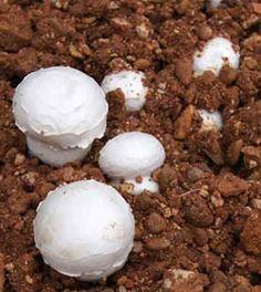 Cómo cultivar Champiñón en casa puede ser muy fácil y divertido, ya que se trata de una seta muy agradecida si se tienen en cuenta un mínimo de cuidados. http://www.elhuertourbano.net/setas/como-cultivar-champinon-en-casa/                                                                                                                                                                                 Más