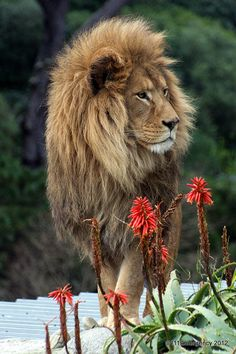 Lion strolling