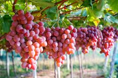 Lazzara Grapes produces varieties of fresh Australian table grapes including red globe, Thompson seedless & flame seedless grapes. Contact us for fast delivery of Premium Australian Fresh quality table grapes: 438 264 295 or 419 153 Grape Nutrition Facts, Quest Nutrition, Proper Nutrition, Nutrition Plans, Nutrition Guide, Pancreatic Diet Recipes, Fresco, Red Grapes, Healthy Protein