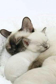 Snoozing Siamese http://catsandmusic.com