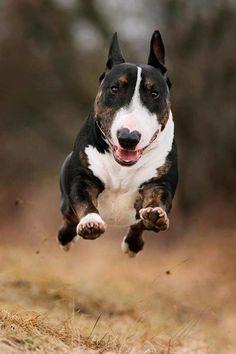 Miniature Bull Terrier/道化師になって楽しませてくれる犬!|「Dog Safety 倶楽部 」のファンがつくるサイト
