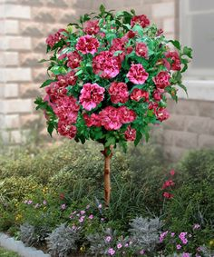 Cottage Farms Direct   Double Red Hardy Hibiscus Tree