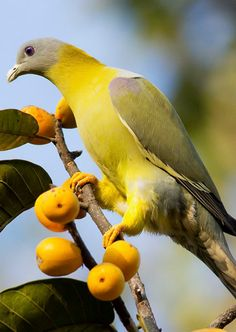 Yellow Footed Green Pigeon ~ETS #pigeon #birds #yellowbird