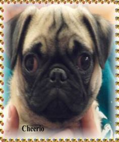 CHEERIO is an adoptable Pug Dog in Toledo, OH. DOB: 12/2011 I am a good little puppy and very playful. Remember though I am a puppy so I chew, I am not housebroken and I am not a toy for a small child...