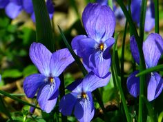 February Birth Flowers February birth month flowers and their meanings, violet, primrose, from The O February Birth Flowers, Birth Month Flowers, Exotic Flowers, Purple Flowers, Beautiful Flowers, Amarillis, Old Farmers Almanac, Flower Meanings, Flower Names