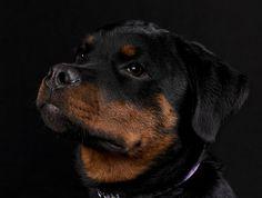 [:it]Rottweiler[:] - ROTTWEILER #ROTTWEILER #cuccioli #cani #doglover #cuccioli