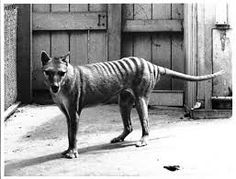 Tasmanian Tiger - now extinct. Last reported sighting was in 1932
