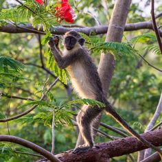 One of Barbados' cheeky Green Monkeys - A great guide to quintessentially Caribbean experiences on Barbados #travel #wanderlust #paradise