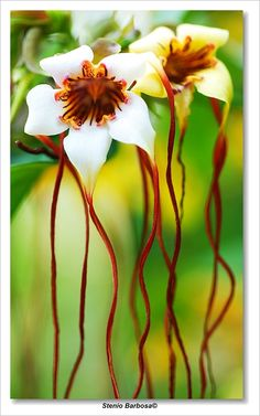 ~~Different flower... ~ Stropanthus by ~ScoobyUSA~~