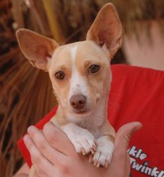 Marian is a wonderfully charming young girl debuting for adoption today at Nevada SPCA (www.nevadaspca.org).  She was found roaming, presumably abandoned, at a busy intersection in a Vegas commercial district, with no sign of responsible ownership (no ID tag, no microchip ID, not spayed).  Marian is just 1 year of age, a blond & white Chihuahua mix with keen eyes, good with other dogs and now spayed.