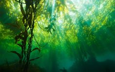 This reminds me of scuba diving off the southern California coast.  Kelp forest; Jim Patterson