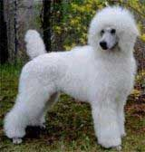 Standard Poodles To Buy | & Standard Poodle puppies for sale. Toy, Miniature & Standard Poodle ...