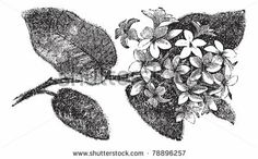 Google Image Result for http://image.shutterstock.com/display_pic_with_logo/348289/348289,1307602274,1/stock-vector-mayflower-or-trailing-arbutus-or-epigaea-repens-vintage-engraving-old-engraved-illustration-of-a-78896257.jpg