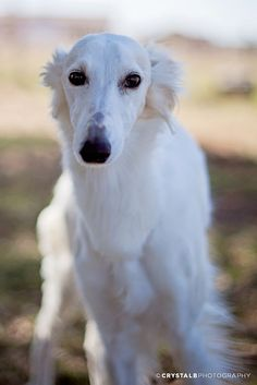 Silken Windhound. The most beautiful creature I've ever seen!