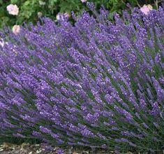Lavandula angustifolia 'Hidcote'LavendelHÖJD: 35 cmBLOMNING: Juli-Aug Lavandula Angustifolia, Kraut, Gardening Tips, Flora, Plants, Sunset, Sodas, Shrubs, Pastel