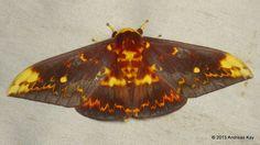 Saturniid Moth, Citheronioides collaris