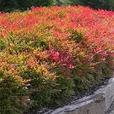 """Nandina """"Gulf Stream"""": Fall color shown here- reddens in cool weather, evergreen. (Also know as Heavenly Bamboo, contrary to the name, it is not bamboo.) Alternate with Little Lime Hydrangea & behind current orange daylilies. Evergreen Shrubs, Trees And Shrubs, Landscape Design, Garden Design, Shade Tolerant Plants, Hedging Plants, Screen Plants, Backyard Projects, Front Yard Landscaping"""