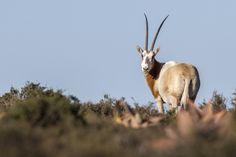 Антилопа Oryx в Africa Karoo Hunting