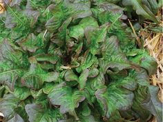 Super-sweet leaves are blushed with medium bronze, mainly around the wavy leaf margins. Heat tolerant and slow to bolt. Spectacular and flavorful!
