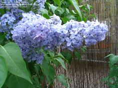 PlantFiles Pictures: Syringa, Common Lilac, French Lilac 'Wedgwood Blue' (Syringa vulgaris) by Syringa Vulgaris, French Lilac, Famous Daves, Vintage Room, Wedgwood, Dream Garden, Seeds, Lavender, Gardens