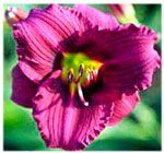 Northeast Nursery of Peabody has been supplying North Shore homeowners and landscapers with plants, mulch, hardscapes and more for over 32 years. Purple Day, Deep Purple, Purple Flowers, Magic S, Day Lilies, Lily, Landscape, Garden, Plants
