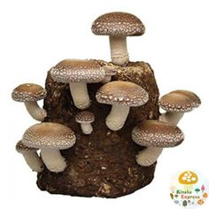 you can enjoy the growth of simple and speedy within 1 week  Fuji shiitake Organic Mushroom . Also it is easy to  grow by beginners to enjoy. for independent research and children in food education!  If you use it well , you can have up to three  times of Fuji shiitake harvest . it is a medium to large sized shiitake Mushroom ! when you finished using, the Mushroom bed can be use as fertilizer for plants .