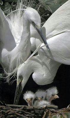 Egret family black and write photo