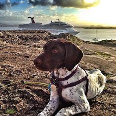 Look behind you, Huds! #perfectsunset #cruiseship #sanjuanbay #puertorico #ilovemydog #hudsoninpuertorico #oldsanjuan #ElMorro #gsp2day #gsp #gspofinstagram #pointer #germanshorthairedpointer #puppy #puppiesofinstagram #instapuppy #dog #dogsofinstagram #instadog #rescuedogsofinstagram #birddogoftheday #jj_justdogs