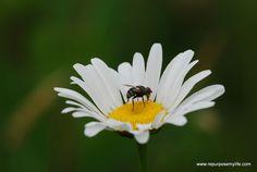 Dainty Diptera on a daisy