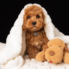 The Cavapoo is a crossbreed that results from breeding a Poodle and a Cavalier King Charles Spaniel. Cavapoos were initially created to be hypoallergenic dogs and thus the ideal companion for… Super Cute Puppies, Cute Baby Dogs, Cute Little Puppies, Cute Dogs And Puppies, Cute Little Animals, Cute Funny Animals, Pet Dogs, Pets, Doggies