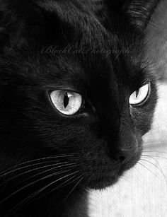 Cat Photography Black Cat Art Cat Eyes by BlackCatPhotographs Wish my black cat would stand still long enough to let me take pictures of him..