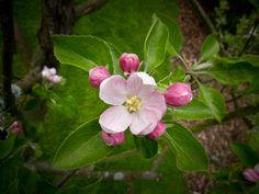 apple blossom - Google Search