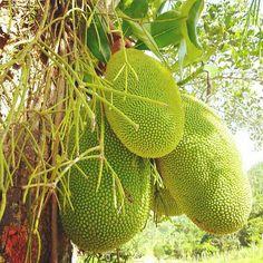 Jackfruit tree... Jamaica