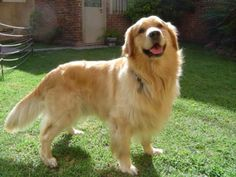 The golden retriever grin! I love smiling dogs. And I especially like Goldens. Golden Retrievers, Perros Golden Retriever, Labrador Retriever, Golden Labrador, Golden Dog, Golden Rule, I Love Dogs, Cute Dogs, Family Dogs