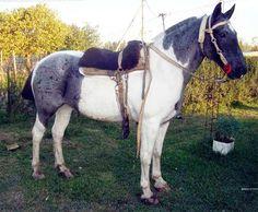 Caballos Criollos - todo sobre el caballo criollo -: 01/16/15