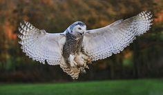 Resultado de imagen para owl hunting