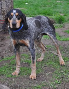 blue tick hound photo | Blue Tick Hound this morning (Outdoorschik) - Dog Community, Dog ...